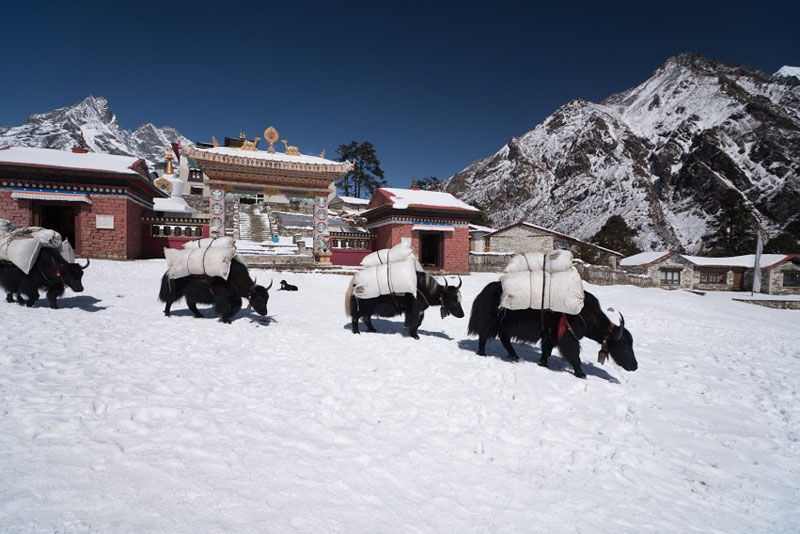 Yak on snow