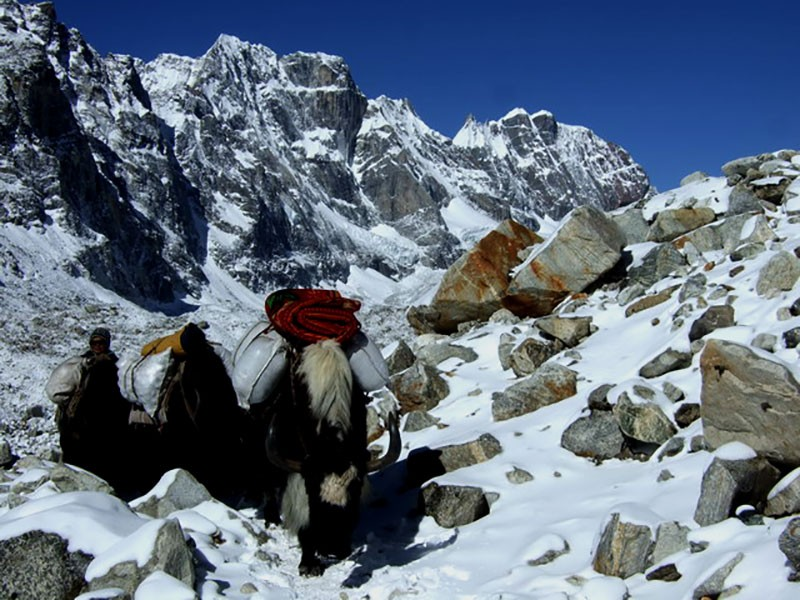 Yak Transporting Luggage of Trekker during EBC Trek Nepal